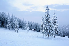 The trees under snow are on the lawn. Royalty Free Stock Photography