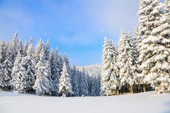 The trees under snow are on the lawn. Royalty Free Stock Photos