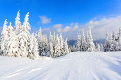 The trees under snow are on the lawn. Royalty Free Stock Images