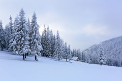 The trees under snow are on the lawn. Royalty Free Stock Image