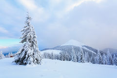 The trees under snow are on the lawn. Stock Photography