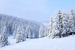 The trees under snow are on the lawn. Stock Photos