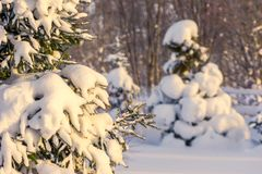 winter morning, trees under the snow, a lot of snow, snow breaks trees, Shallow depth-of-field stock photo