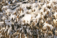 Trees under snow Royalty Free Stock Images