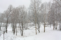 Trees under the snow. Snowfall Royalty Free Stock Image