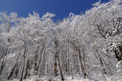 Trees under snow. Winter landscape trees under snow Royalty Free Stock Image