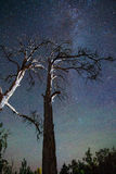 Trees under the starry sky Royalty Free Stock Image