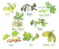 Trees variety set, Birch, Poplar, Sugar Maple, Horse chestnut, Aspen, Acer, Elm, Common oak leaves and seeds conkers, acorns stock illustration