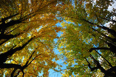 Trees view upwards Stock Photography