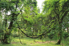 Trees and vine Royalty Free Stock Photos
