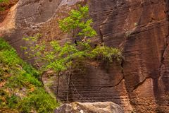 Trees in the Virgin Narrows River in Zion National Park. royalty free stock image