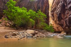 Trees in the Virgin Narrows River in Zion National Park. stock images