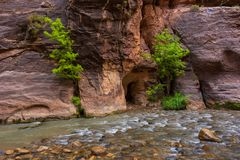 Trees in the Virgin Narrows River in Zion National Park. stock image