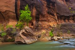 Trees in the Virgin Narrows River in Zion National Park. royalty free stock photography