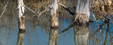 Trees in water Stock Image
