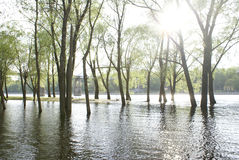 Trees on water. Trees growing from shining water Stock Photography