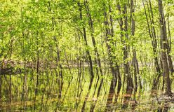 Trees in the water in the forest royalty free stock image