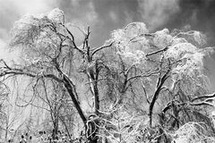 Trees wear winter. Snow and ice blanket trees in winter after an ice storm Royalty Free Stock Images