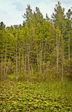 Trees and Wetlands, Northern Michigan Royalty Free Stock Photos