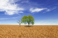 Trees in wheat field over cloudy blue sky Royalty Free Stock Photo