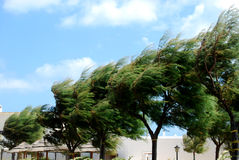 Trees whipped by the mistral wind on the coast of Apulia - Apuli Stock Photo