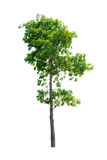 Trees on white background. Tree nature on white background of Isolated Royalty Free Stock Images