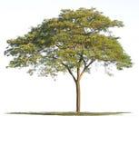 Trees on white background. Tree nature on white background of Isolated Royalty Free Stock Image