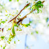 Trees white blossoming, spring time Royalty Free Stock Images