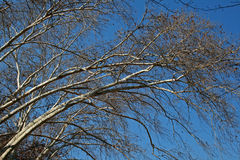 TREES WITH WHITE BRANCHES Stock Photography