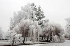 Trees in the white hoarfrost Stock Photo