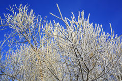 Trees with white hoarfrost at winter, blue sky Stock Photos