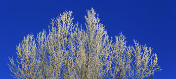 Trees with white hoarfrost at winter, blue sky Royalty Free Stock Photo