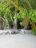 Trees and white ssand. Natural trees along the beach Stock Photos