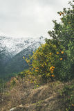 Trees with wild ripe oranges and snowy mountains, Alanya, Turkey. Orange trees with ripe oranges in mountain garden in Dim Cay district of Alanya on gloomy day Royalty Free Stock Photo