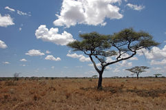 Trees in the Wilderness. Of the Serengati in Tanzania Stock Photography