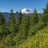 Trees and wildflowers looking over Mount Rainier stock photography