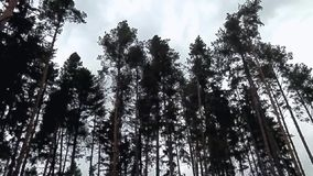Trees in the wind tend to have. The increasing wind before the storm bends the trees and waved as if in tourism stock video