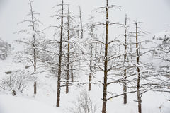 Trees in winter. At mt. emei Royalty Free Stock Photography