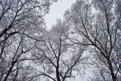 Trees in winter. An upward shot of some trees in winter, covered in snow Stock Image