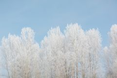 Trees in winter in winter. Beautiful winter landscape. Frost on trees in winter. Siberia royalty free stock images