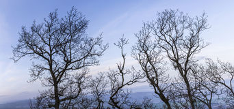 Trees in winter with blue sky Stock Image