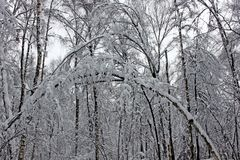 Trees in winter covered with fluffy snow Stock Photo