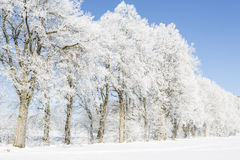 Trees in winter covered with hoarfrost Royalty Free Stock Photo