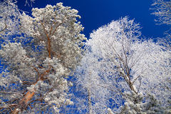 Trees in the winter covered with snow Royalty Free Stock Photography