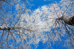 Trees in the winter covered with snow Stock Photos