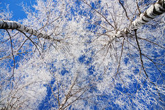 Trees in the winter covered with snow Royalty Free Stock Images