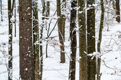 Trees in winter covered in snow. Trees in a Swiss forest during winter and covered in snow Royalty Free Stock Photos