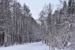 The trees in the winter forest dressed fabulous outfit. Everything is decorated with dazzling snow, clear ice and silver frost. The forest - as if the Treasury stock images
