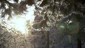 Trees in the winter forest landscape. Trees in the winter forest landscape stock video