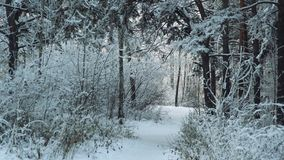 Trees in the winter forest landscape. Trees in the winter forest landscape stock footage